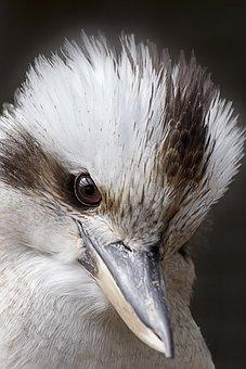 Kookaburra, Bird, Kingfisher, Australia, Wildlife