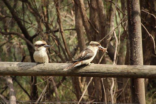 Kookaburra, Australia, Bird, Animal, Wildlife