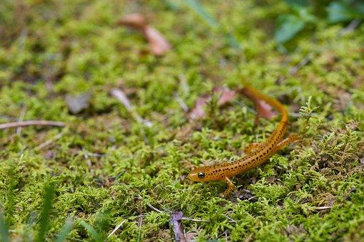 Animal, Amphibian, Salamander, Longtail, Longicauda