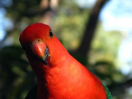 Australian King-parrot, Zoo, Male Parrot, King-parrot