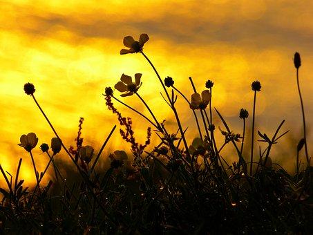 Sunset, Mood, Back Light, Flowers, Buttercup