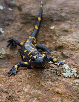Fire Salamander, Salamander, Animal, Amphibian, Nature