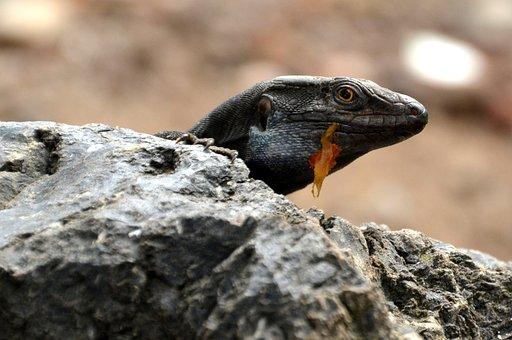 Lizard, Salamander, Reptile, Nature, Animal, Creature