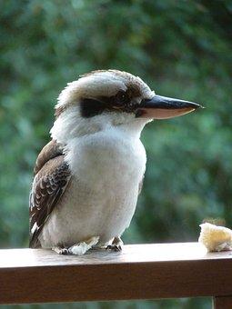 Kookaburra, Bird, Feathers, Australia, Symbol, Oz