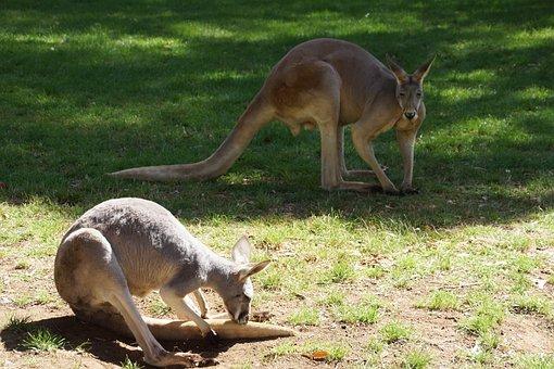 Kangaroos, Couple, Pre, Pasture, Green Grass