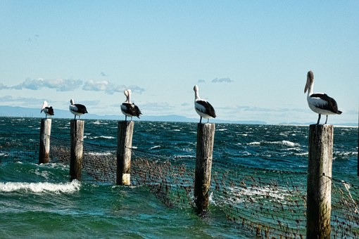 Pelicans, Posts, Sea, Surf, Nature, Roosts