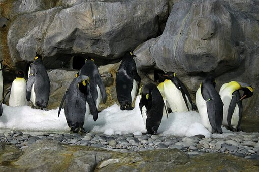 Emperor Penguin, Aircon Room, Penguins, Flightless