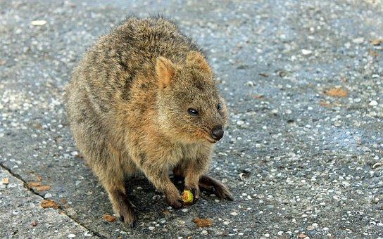 Quokka, Marsupial, Kangaroo, Australia, Rottnest Island