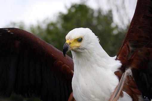 Raptor, Eagle, Beak, Flexing Wings, Predator