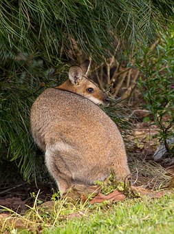 Wallaby, Rednecked Wallaby, Female, Watching, Australia