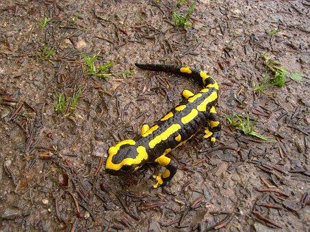 Fire Salamander, Salamander, Animal, Amphibian, Spotted