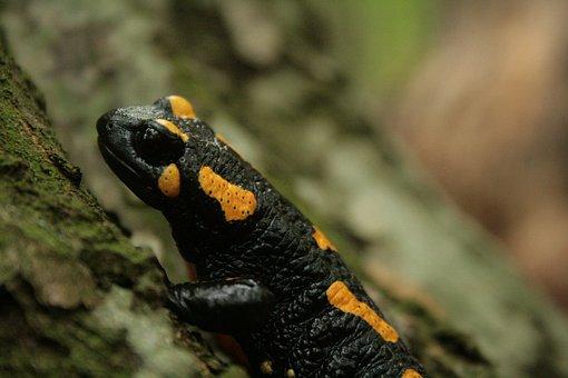 Salamander, Fire Salamander, Leaves, Newt, Amphibian