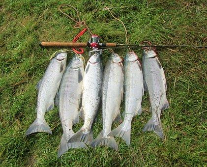 Salmon, Sockeye, Fishing, Fishermen, Alaska, Fish, Food