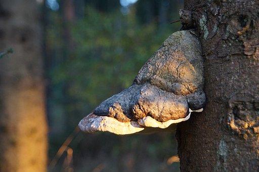 Tree Fungus, Forest, Mushroom, Tribe, Plant, Nature