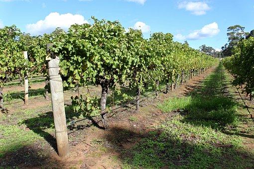 Australia, Vines, Vineyard, Wine, Grape, Winery