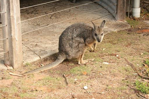 Wallaby, Australia, Nature, Animals, Animal, Puppy