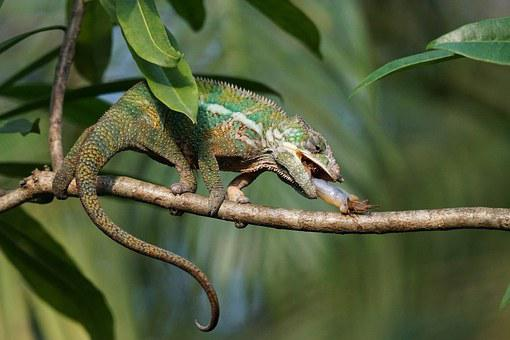 Panther Chameleon, Food, Eat, Grille, Acheta Domestica