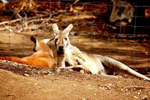 Kangaroos, Australia, Zoo, Melbourne, Marsupial, Animal
