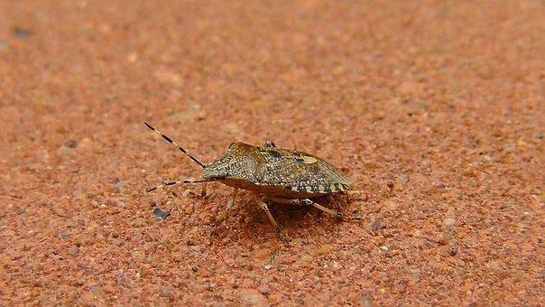 Bug, Stink Bug, Insect, Animal, Nature