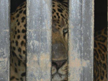 Leopard, Caged, Animal, Wildlife, Endangered, Carnivore