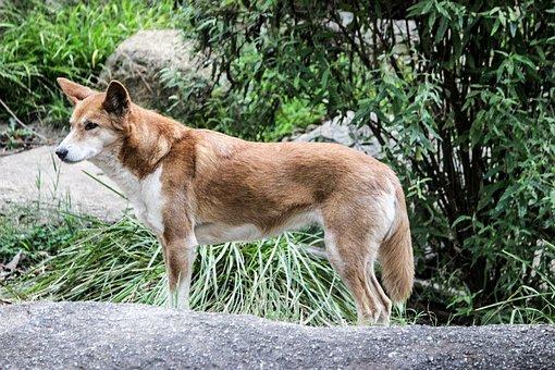 Dingo, Australia, Healesville, Dog, Canine, Animal