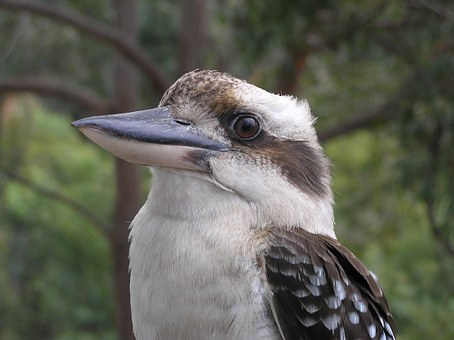 Kookaburra, Bird, Australia, Native