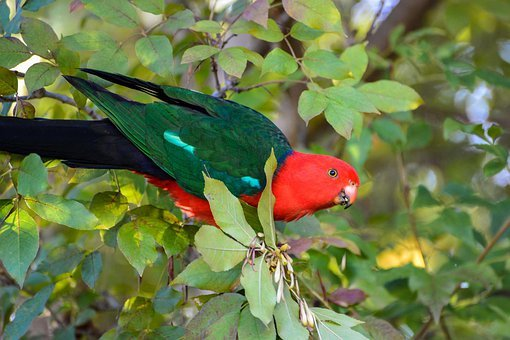 King Parrot, Parrot, Exotic, Tropical, Australia, Bird