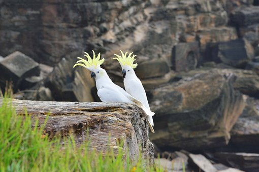 Sulphur Crested Cockatoos, Parrots, Cockatoos, Bird