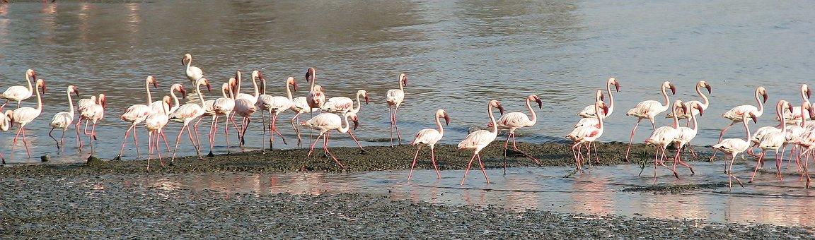 Flamingos, Walking, Beach, Flock, Many, Nature, Birds