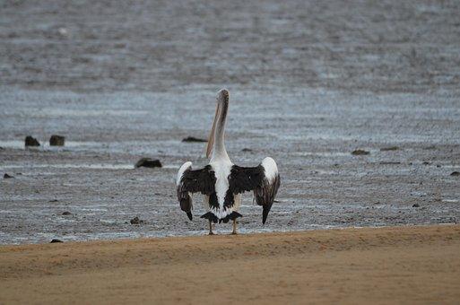 Bird, Pelican, Water Bird, Animal, Birds, Pelicans
