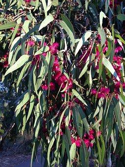 Gum Tree, Bloom, Flowers, Bush, Spring, Australia