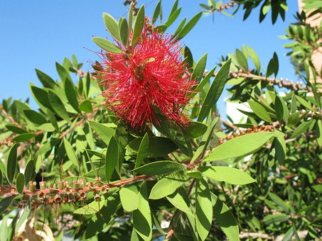 Australia, Bloom, Blossom, Bottle, Brush, Bud, Bush