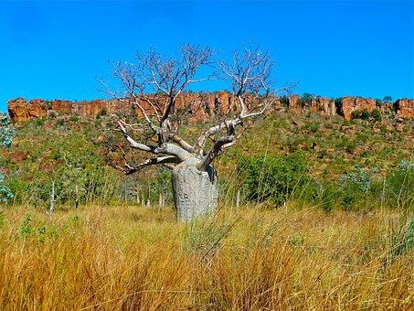 Bottle Tree, Australia, Queensland Bottle Tree