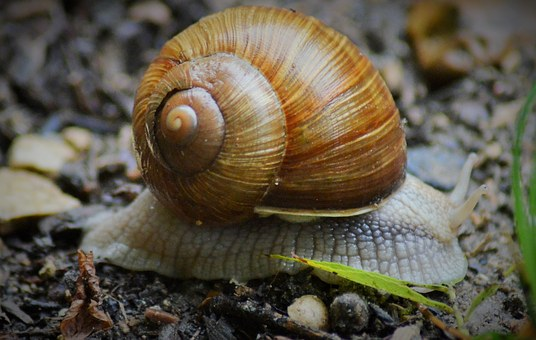 Snail, Insect, Nature, Rain, Burgundy, Shell