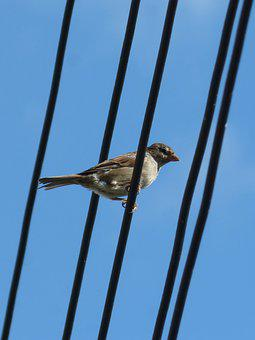 Sparrow, Bird, Cables, Lookout