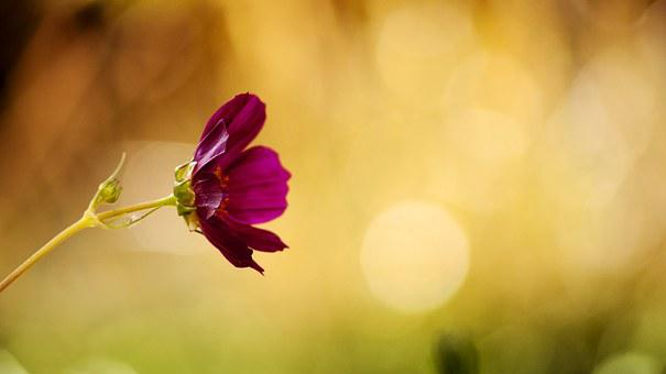 Flower, Cosmos, Burgundy, Colors, Bokeh, Summer Garden