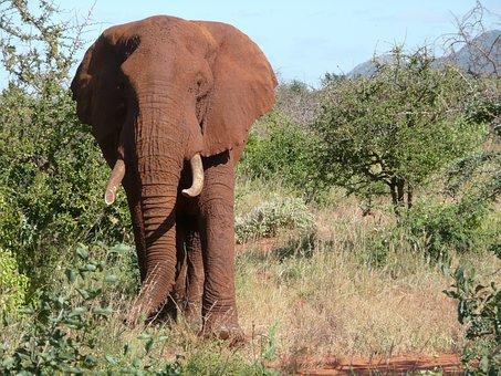 Red, Elephant, Tsavo, Kenya, Animal, Wildlife, Big