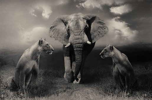 Lionesses, Lion, Elephant, Big Cats, Wildlife, Safari