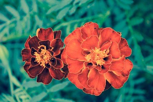 Marigold, Flower, Burgundy, Green, Nature, Plant
