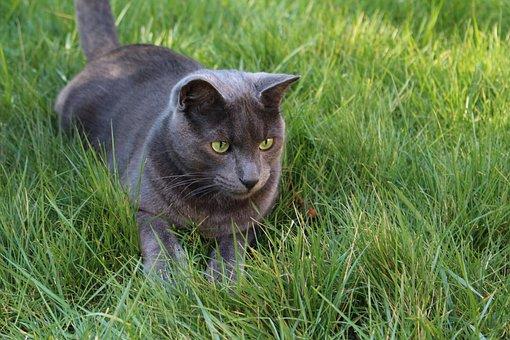 Cat, Grey Cat, Green Cat Eyes, Grass Cat, Hunting Cat