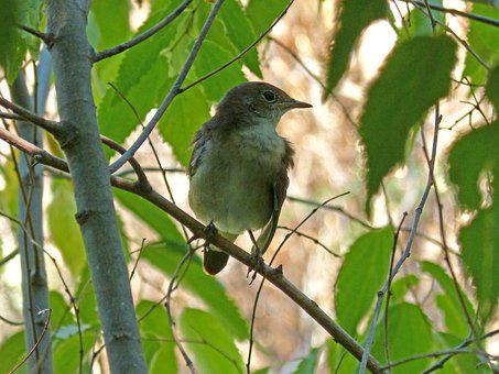 Bird, Hackberry, Sparrow, Branch, Lookout