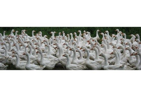 Geese, Farm, Poultry, Animals, Fry, Holiday Food