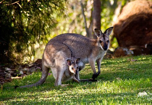 Wallabies, Kangaroo, Rednecked Wallaby, Joey, Mother