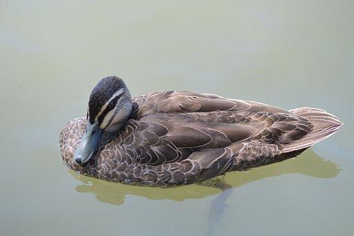 Duck, Lake, Australia, Nature, Bird, Albert Park