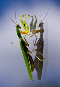 Praying Mantis, Mantid, Mantis, Insect, Large, Green