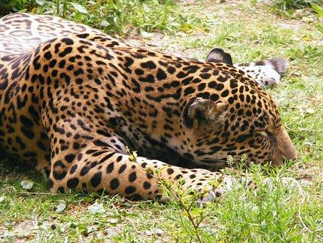 Leopard, Animal, Zoo, Cat, Jungle, Wildlife, Africa