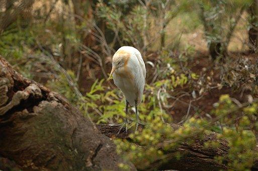 Cattle Egret, Bird, Macro, Close-up, Zoo, Melbourne
