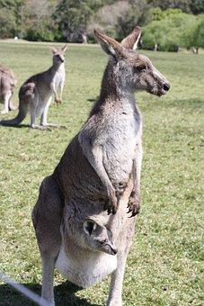 Kangaroo, Baby, Nature, Marsupial, Australia, Wildlife