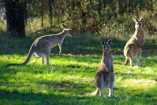 Kangaroos, Animal, Kangaroo, Hop, Australia, Marsupial