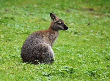 Kangaroo, Marsupial, Animal, Meadow, Australia